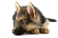 Shephard Dog Face Png Icon