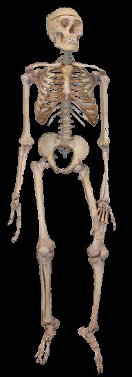 Skeleton PNG Free Download 3