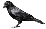Sleeping Crow Png