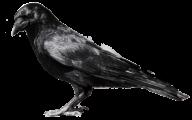Sleeping Crow Png
