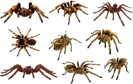Spider PNG Free Download 13