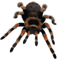 Spider PNG Free Download 3