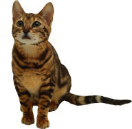 Stared Cat Png