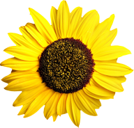 Sunflower PNG Free Download 1