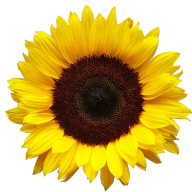 Sunflower PNG Free Download 11
