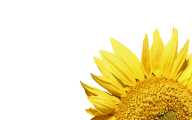 Sunflower PNG Free Download 12
