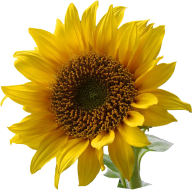 Sunflower PNG Free Download 13