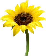 Sunflower PNG Free Download 14