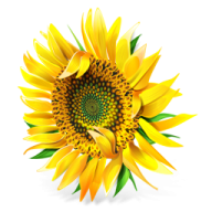 Sunflower PNG Free Download 15