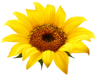 Sunflower PNG Free Download 16