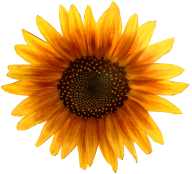 Sunflower PNG Free Download 17