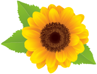Sunflower PNG Free Download 18