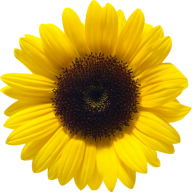 Sunflower PNG Free Download 2
