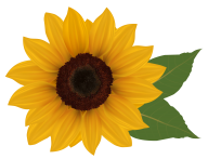 Sunflower PNG Free Download 22
