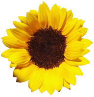 Sunflower PNG Free Download 23