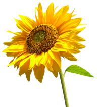 Sunflower PNG Free Download 24