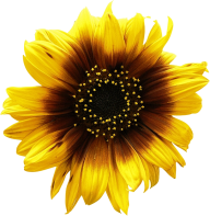 Sunflower PNG Free Download 25