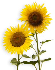 Sunflower PNG Free Download 26