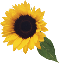 Sunflower PNG Free Download 28