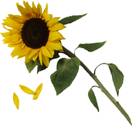 Sunflower PNG Free Download 29