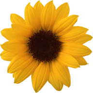 Sunflower PNG Free Download 3