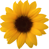 Sunflower PNG Free Download 30