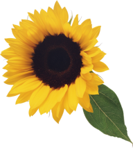 Sunflower PNG Free Download 4
