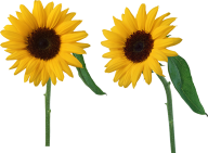 Sunflower PNG Free Download 5