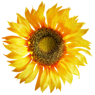 Sunflower PNG Free Download 6