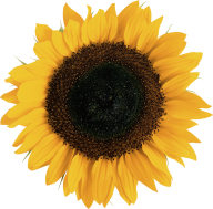 Sunflower PNG Free Download 7