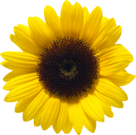 Sunflower PNG Free Download 8