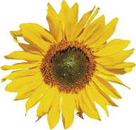 Sunflower PNG Free Download 9