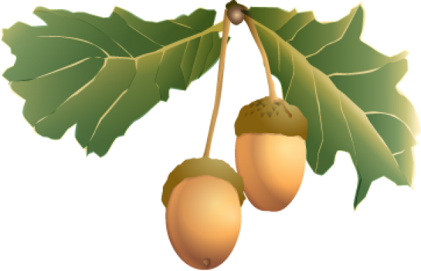 Acorn Fruit Png With Green Leaves