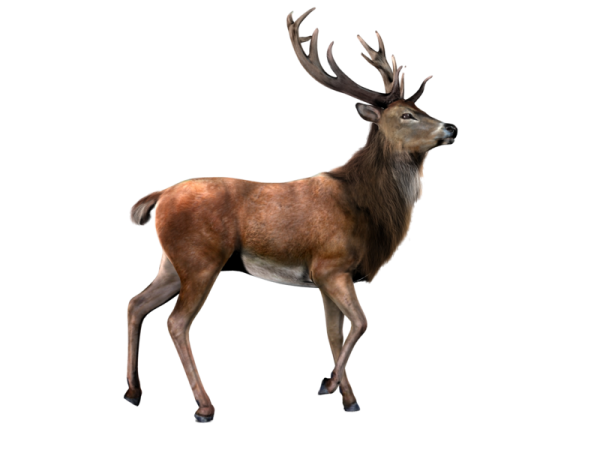 Aged Deer Png