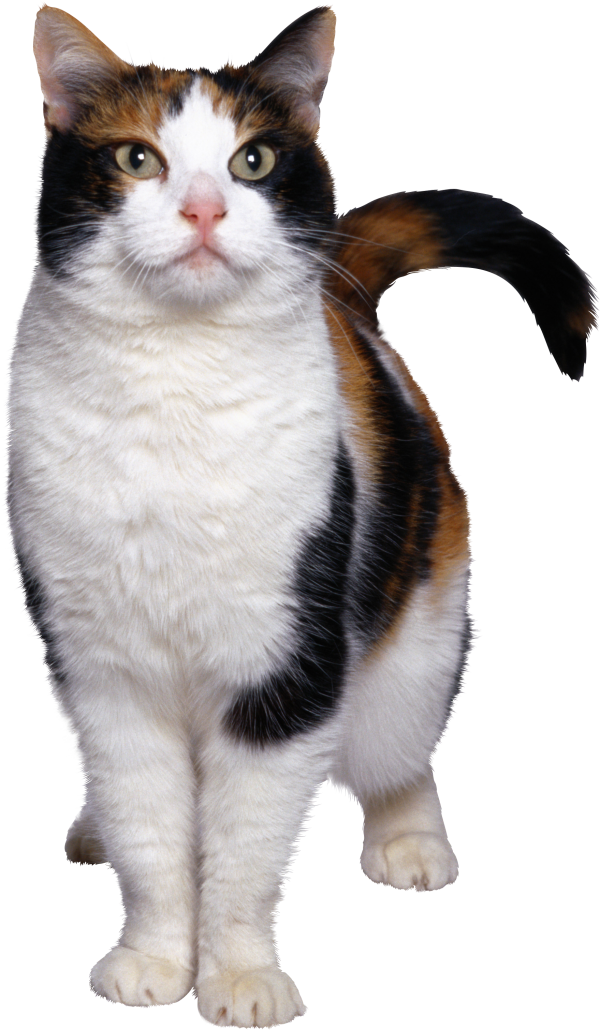 Angry Cat Png