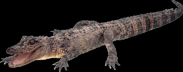 Angry Crocodile Png