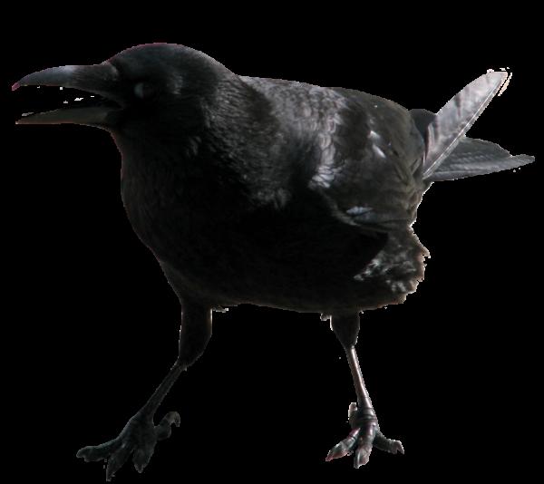 Angry Crow Png