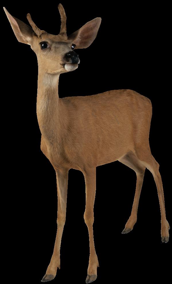 Angry Deer Png