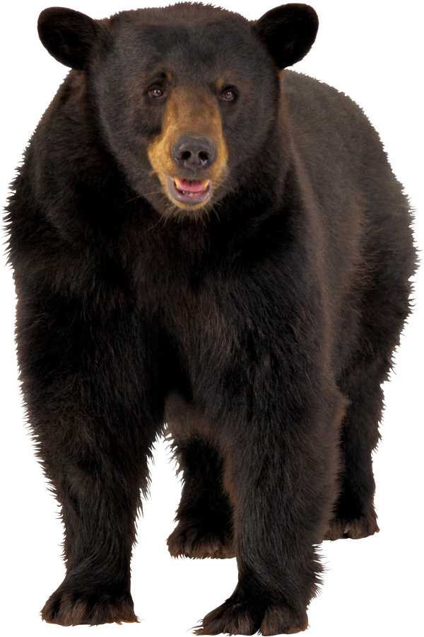Bear Png Looking For You
