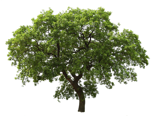 Big Tree Png