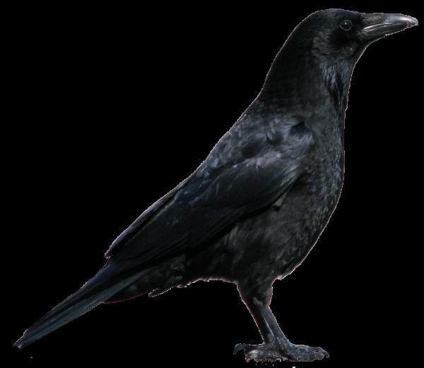 Black Crow Png