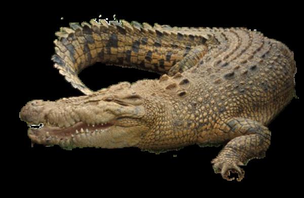 Brownish Crocodile Png