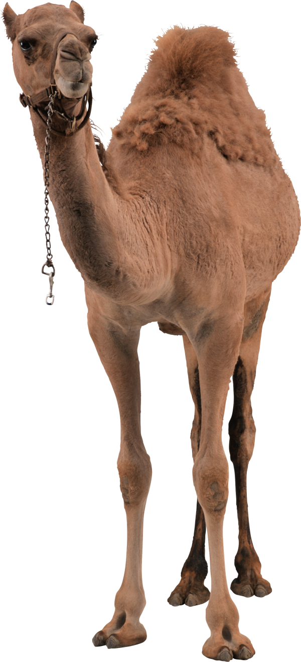 Camel Png Front View