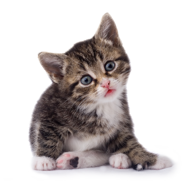Cat Looking At You Png Image