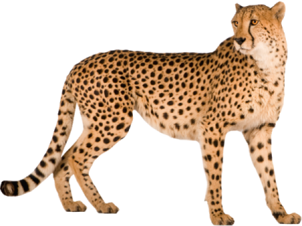 Cheetah For Web Png