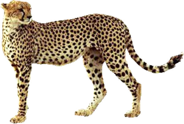 Cheetah Looking for Food