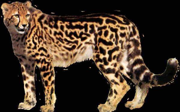 Cheetah Png For Web