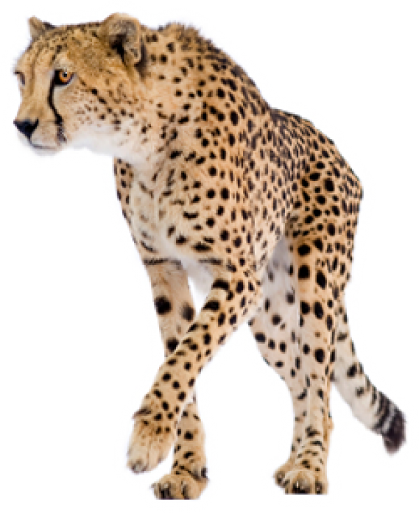 Cheetah Png Free Download