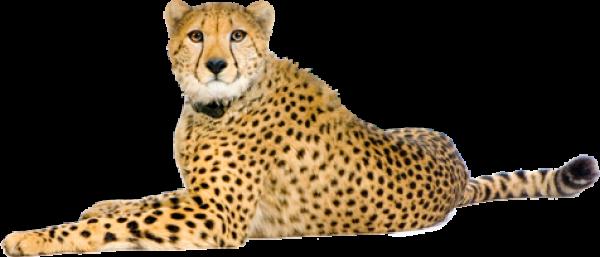 Cheetah Png In Angry Mood