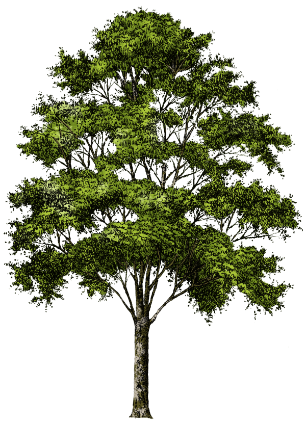 Clipart Tree Png
